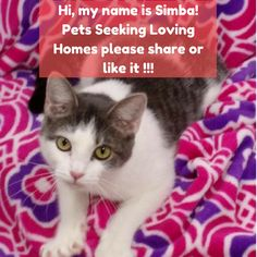Hi, my name is 1706-1549 Simba! I'm a mix of Domestic Short Hair (Gray & White) #cats #catsofinstagram #curiosity #curioso #xereta #gato #gatos #cat #catsagram #comente #comments #comédia #tag #tagafriend #funny #funnymemes #funnyvideos #funnycat #comedy #comics #comedians #instagood #instafunny #instalikes #adoption #virginia #virginiabeach