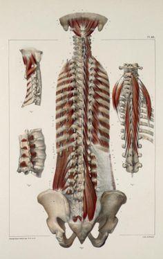 Back+muscles4.jpg (616×977)