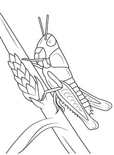 Young Grasshopper Coloring Page From Grasshoppers Category Select 30319 Printable Crafts Of Cartoons Nature Animals Bible And Many More