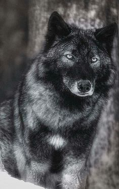Black and grey wolf