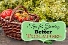 SoSimplyStephanie.com ~ 7 awesome, yet easy, tips for growing bigger, better tasting tomatoes. These tips include how to keep tomatoes from splitting, companion plants for tomatoes, fertilizing and more.