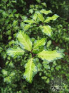 https://www.burncoose.co.uk/site/plants.cfm?pl_id=3325