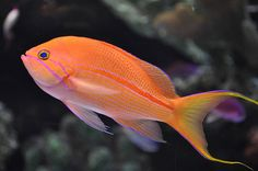 Racing-Striped Reef Fish