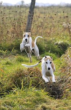 """hounddogsrunning: """" Whippets In Action """""""