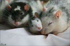 animals, rats