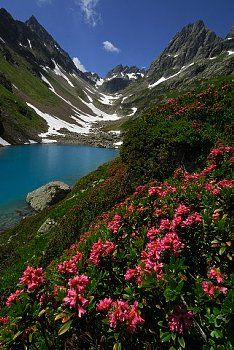 Alpenrose ( Rhododendron ferrugineum ) Switzerland