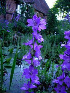 Campanula latiloba - Bell flower