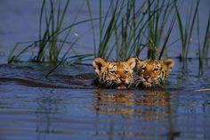 tigre du bengale (panthera tigris tigris) longueur environs 3 metres pour un poid de 180 a 250 kg