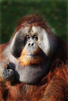 Orang utan at Dublin Zoo