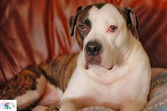 Dog Weight Loss: American Bulldog Puppies: Aspiring Strong Work Dogs
