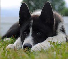 Bones the Alaskan Malamute / Karelian Bear Dog mix