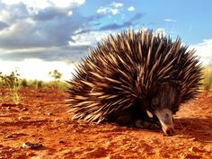 Short-beaked Echidna (Tachyglossus aculeatus) Photo taken on Autumnvale Station S.W Qld.