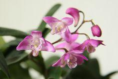 Dendrobium kingianum ou Thelychiton kingianum appelée communément orchidée rose des rochers, dendrobium du capitaine King, ou Lis rose des rochers, est une plante du genre Dendrobium originaire d'Australie orientale