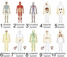 functions of human body systems | www.okaidimalta | medical, Human Body