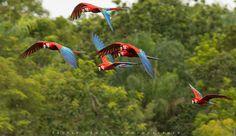 Scarlet Macaw by Patrik Oening  on 500px