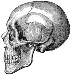 Skull anatomy Skeleton Anatomical 30 by mapsandposters on Etsy, $9.99