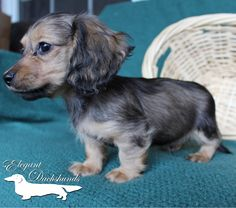 Shaded English Cream by Elegant Dachshunds