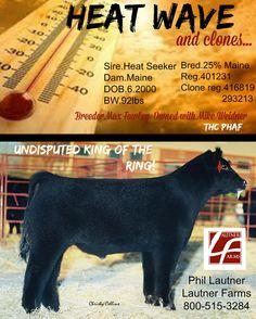 Club bull Show Cattle, Good Ol, Livestock, Farm Life, Club, Show Cows