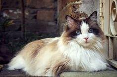 Resultado de imagen para Gatos Ragdoll