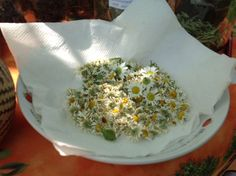 Time to dry the chamomile from the garden. Chamomile has been used for centuries in teas as a mild, relaxing sleep aid, treatment for fevers, colds, stomach ailments, and as an anti-inflammatory, to name only a few therapeutic uses. Chamomile may be used internally or externally.