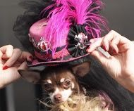 Do you think my hats to big ! Woof Woof #celebdog #queeniewoofwoof www.licksoflondon.com