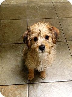 Pasadena, CA - Yorkie, Yorkshire Terrier/Poodle (Miniature) Mix. Meet TRIXIE a Puppy for Adoption.