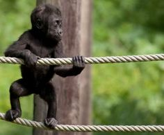 Baby Ape on a Rope