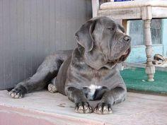 Petfinder  Adoptable | Dog | Cane Corso Mastiff | Ramona, CA | Lola