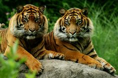 Beautiful Cats, Animals Beautiful, Bengal Tiger, Tiger Tiger, Baby Tigers, Big Cats, Beautiful Creatures, Lions, Cute Pictures