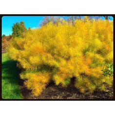 """""""#bush #shrub #branches #conifers #evergreen #needles #softwood #forest #forestpreserve #earth #fall #trees #natural #yellow #garden #landscape #design #mothernature"""" Photo taken by @akaaki157 on Instagram, pinned via the InstaPin iOS App! http://www.instapinapp.com (11/01/2015)"""