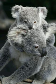 Koalas - look so cute, but they're pretty vicious little things!