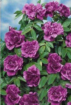 Le #rosier 'Hansa' a été créé en 1905.