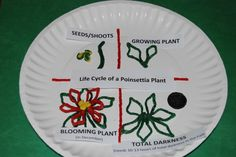 3-D Life Cycle of a Poinsettia Craft (with free labels) for Kids! (Great activity for after Christmas when Poinsettias go on sale!)