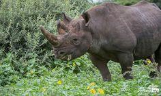 Rhino.  Huge.