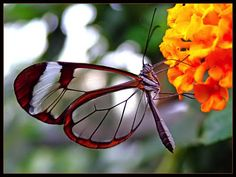 Butterflies | In Search of Butterflies » Whiskey Notes and Parachuting Fish