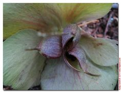 Right now is the perfect time (late April) to harvest hellebore seed. I'm gathering the pods that are partially open and scattering the seeds in some shady areas of the back yard. I can't wait to see if any of them come up late next fall!  The seeds often don't come out just like the parents but that's part of what makes it so interesting.