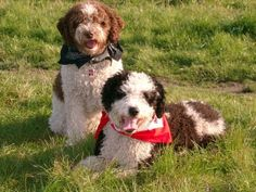 The Spanish water dog doesn't shed much at all. Click the doggies for a list of dogs that don't shed much.