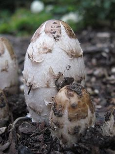 The shaggy mane, Coprinus comatus growing in wood chips. Anti-tumor activity Hypoglycemic effects Anti-nematode activity Antioxidant activity