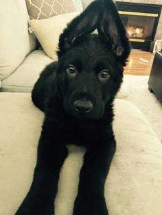 Black German shepherd puppy                                                                                                                                                                                 More