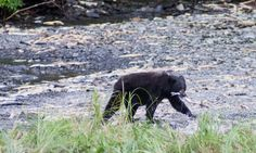 id – Just another WordPress site Ingo, Blind Dates, Black Bear, Animals, Pictures, Safety, Salmon, Animales, American Black Bear