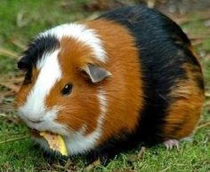 Caring for guinea pigs.- A lot of information in this pin