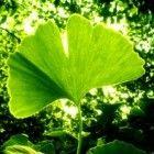 Ginkgo is een boom met een ontzettend grote kracht. Hij overleeft atoomexplosies, helpt tegen MS, hart- en vaatziekten, dementie en verergering van di...
