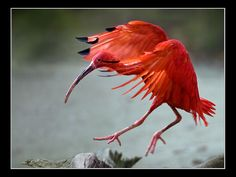 scarlet ibis   | Red Scarlet Ibis' Landing , originally uploaded by guenterleitenbauer ...