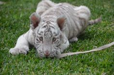 Tofu the white tiger #emilyjeanmaplesphotography