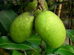 #FACT ABOUT ME #LOU GIRADO: MY MOM'S FOOD CRAVING WHEN SHE WAS PREGNANT WITH ME #Green mango fruit tree