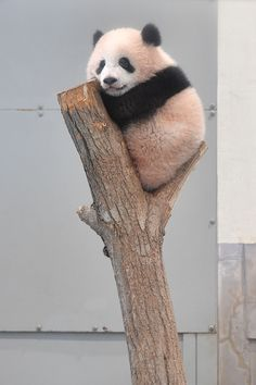 Cute Funny Animals, Cute Baby Animals, Panda Wallpapers, Cute Panda, Panda Panda, Cute Bears, Cute Animal Pictures, My Spirit Animal, Cute Creatures