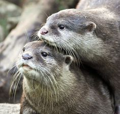 Uhhh look at this little cute #otter couple :-D - We ♥ River Otters