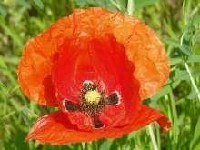 Mák vlčí, květ, červen a další měsíce v době květu Fruit, Rose, Flowers, Plants, Pink, Plant, Roses, Royal Icing Flowers, Flower