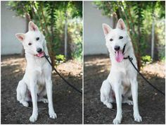 LUBIN - URGENT - Los Angeles Animal Services: West Valley Shelter in Chatsworth, CA - ADOPT OR FOSTER - 3 year old Neutered Male German Shepherd Mix - at shelter since July 21, 2016