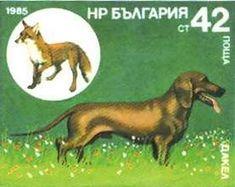 Dachshund, Red Fox (Vulpes vulpes)